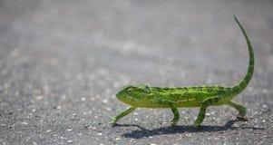 Chameleon crossing the hot tar stock photo