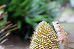 Chameleon on the Cycas palm. stock image