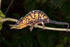 Chameleon da pantera, marozevo Foto de Stock Royalty Free