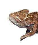 Chameleon de Brown isolado de encontro ao fundo branco Imagem de Stock Royalty Free