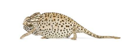 Chameleon de encontro ao fundo branco Fotografia de Stock Royalty Free