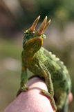 Chameleon de Jackson Imagens de Stock