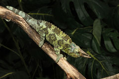 Chameleon de Jackson - jacksoni de Trioceros Imagens de Stock