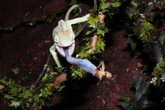Chameleon del Palo Fotografia Stock