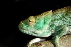 Chameleon del pastore Fotografia Stock