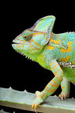Chameleon del Yemen Fotografia Stock Libera da Diritti