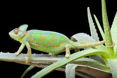 Chameleon del Yemen Immagine Stock