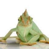 Chameleon del Yemen Fotografie Stock