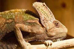 Chameleon del Yemen (calypratus del chamaeleo) Fotografia Stock Libera da Diritti