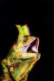 Chameleon del Yemen (calyptratus del Chamaeleo) immagine stock libera da diritti