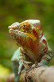 Chameleon della pantera Fotografia Stock