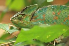 Chameleon della pantera Fotografie Stock