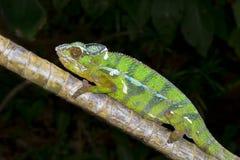 Chameleon della pantera, marozevo Immagini Stock