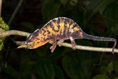 Chameleon della pantera, marozevo Fotografia Stock Libera da Diritti