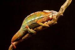 Chameleon della pantera (pardalis di Furcifer) Immagine Stock