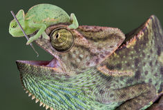 Chameleon dental work. A baby veiled chameleon is sitting on the head of a large veiled chameleon and trying to use a dental tool on his teeth Royalty Free Stock Photo