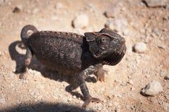 Chameleon in the desert in Namibia Stock Photo