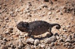 Chameleon in the desert in Namibia Stock Photos