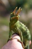 Chameleon di Jackson Immagini Stock