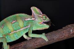 Chameleon di karmi Fotografie Stock Libere da Diritti