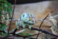 Chameleon do Parson Fotografia de Stock