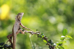 chameleon, dragon Royalty Free Stock Images