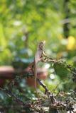 chameleon, dragon Stock Photos