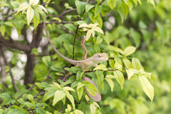 Chameleon dragon. A sweet photograph of a Siamese Chameleon dragon, select focus face and blurred in the background Royalty Free Stock Photo