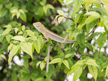Chameleon dragon. On tree, He rejects excrement. select focus face and blurred in the background Royalty Free Stock Photography