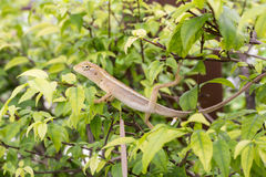 Chameleon dragon. On tree, He rejects excrement. select focus face and blurred in the background Stock Photography