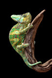 Chameleon on driftwood Stock Photo