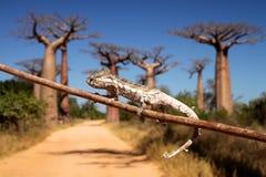 Chameleon e baobabs imagens de stock