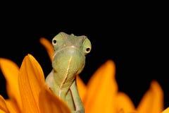 Chameleon e girasole fotografia stock