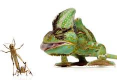 Chameleon e grilos Foto de Stock Royalty Free