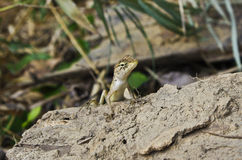 A chameleon in eastern of Thailand. Royalty Free Stock Photo