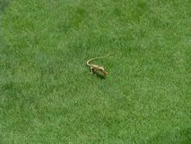 Chameleon eating a cockroach. A chameleon is eating a cockroach on the green lawn grass Stock Photos
