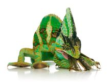 Chameleon eating a cricket. Over white background Royalty Free Stock Photo