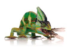 Chameleon eating a cricket. Over white background Stock Photos