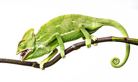 Chameleon eating a cricket Stock Photo