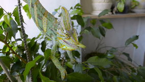 Chameleon eating insect. Chameleon caught and eating insect stock video footage