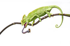 Chameleon eating insect Royalty Free Stock Photo