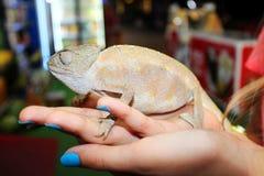 Chameleon em uma mão Fotos de Stock