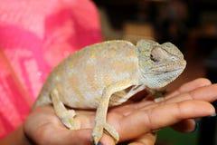 Chameleon em uma mão Foto de Stock