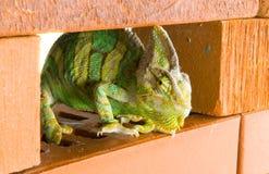 Chameleon em uma parede de tijolo Fotos de Stock Royalty Free
