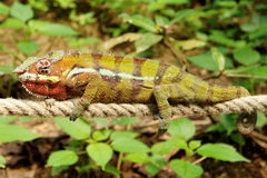 Chameleon - equilibrando su una corda Fotografie Stock