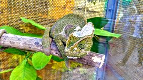 The chameleon stock photos