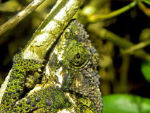 Chameleon Eye. A close-up of a Southern Dwarf Chameleons eye and head royalty free stock photo