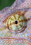 Chameleon Eye. A veiled chameleon is staring at the camera Royalty Free Stock Photography