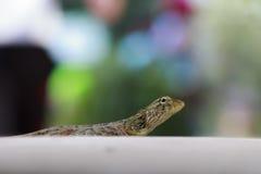 Chameleon eye Stock Photos