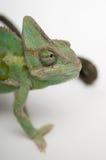 Chameleon face closeup Stock Image